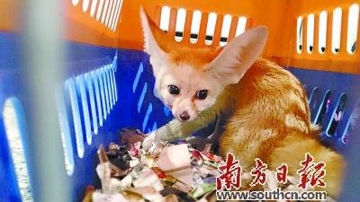 """小动物""""闯关失败"""":白云机场截获狞猫等野生保护动物"""