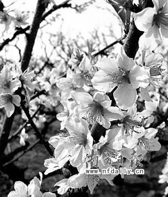 恭城种有桃树14000多亩.三月的恭城