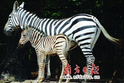 """深圳野生动物园一匹雌性""""混血儿""""斑马宝宝"""