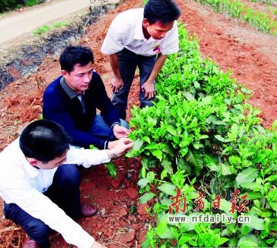 茶叶技术人员实地观察嫁接后的老茶树生长情况.图片
