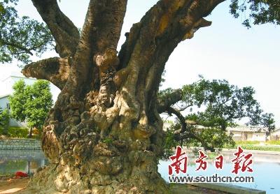 但古树一般均为百年老树,除生长于良好的自然生态环境之外,均因所处