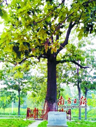 亲手种下的泡桐树