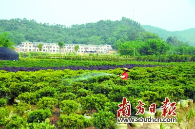 树山村发展绿色苗圃种植项目,今年农户年均收入达3.56万元.