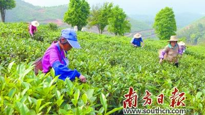 目前,在合箩茶扶贫产业基地务工的村民有30多人.