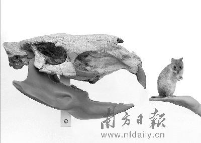 ←该啮齿动物的头骨化石(左)与老鼠的对比图